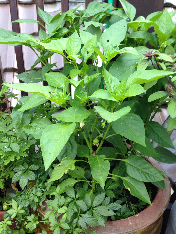 Paprika auf der Terrasse